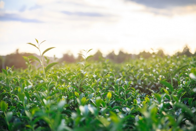 Closeup fresh green tea field and view of scenic young upper fresh bright green tea leaves. Premium Photo