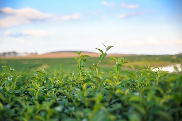 Closeup fresh green tea field with blue sky background. environment concepts. Premium Photo