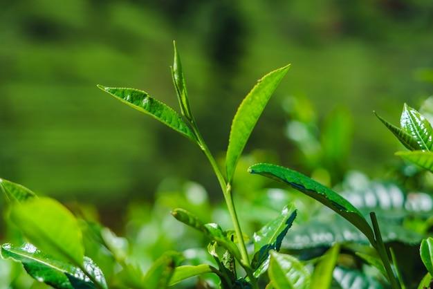 Closeup fresh green tea leaves plantation of sri lanka. Premium Photo