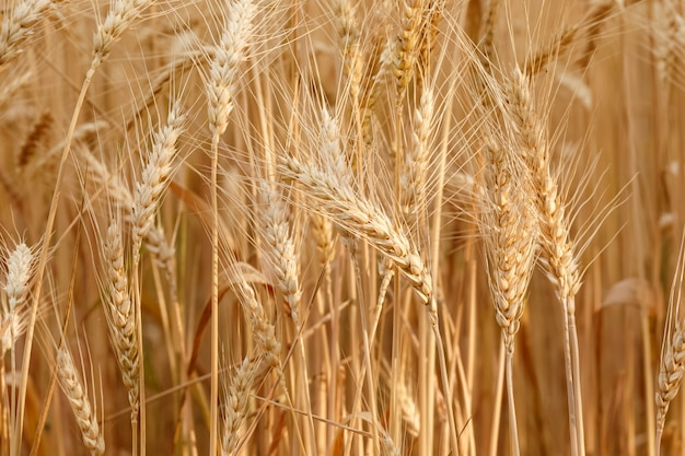 Closeup golden wheat field and sunny day Premium Photo