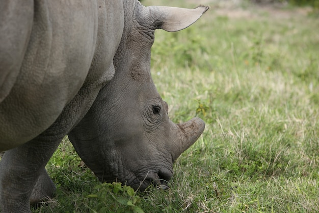 Closeup of a grazing rhinoceros in a field at daylight Free Photo