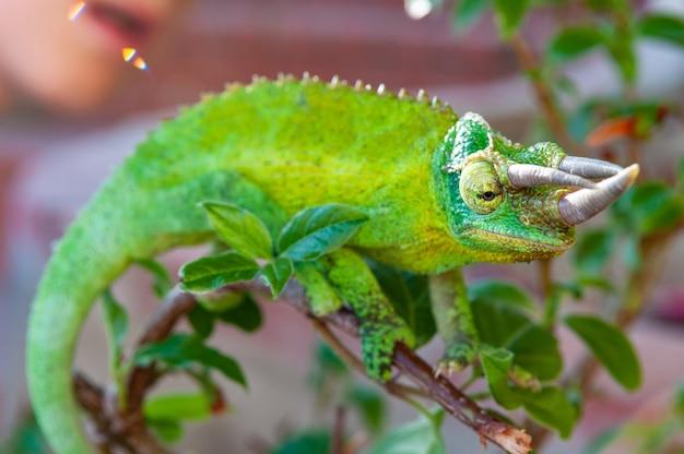Крупным планом зеленый рогатый хамелеон Бесплатные Фотографии