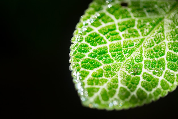 Closeup green leaf micro texture isolated on black. science of nature plant life. Premium Photo