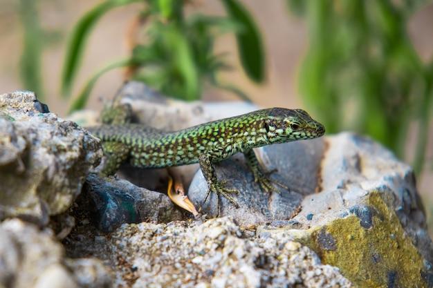 Зеленая ящерица крупным планом ползет по камню Бесплатные Фотографии