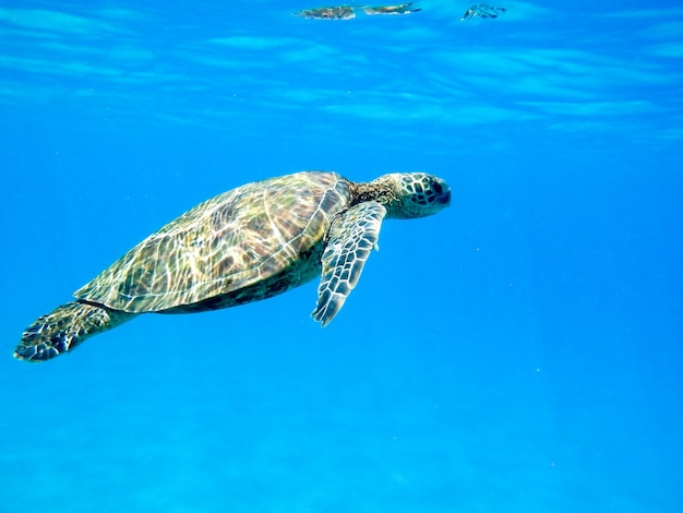 Closeup of a green sea turtle swimming underwater under the lights - cool for nature concepts Free Photo