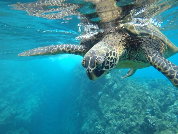 Primo piano di una tartaruga di mare verde che nuota sott'acqua sotto le luci - fresco per i concetti della natura Foto Gratuite