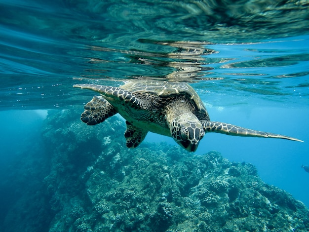 Closeup of a green sea turtle swimming underwater under the lights Free Photo