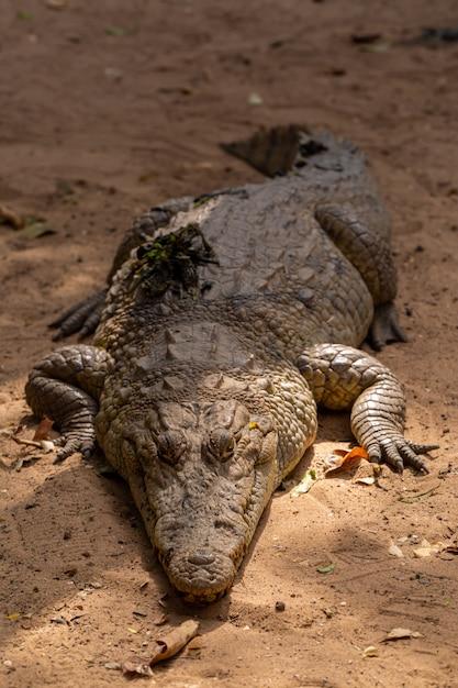 Primo piano di un coccodrillo enorme che striscia sulla terra nel senegal Foto Gratuite