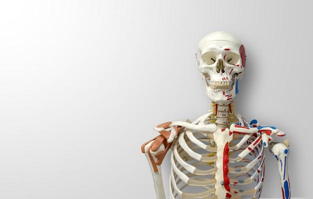 Closeup human skeleton model Premium Photo