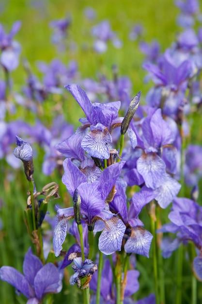 Closeup of iris plant Free Photo