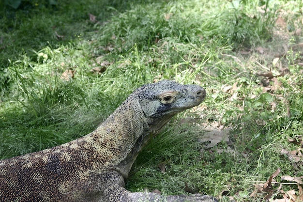 Closeup of a komodo dragon surrounded by greenery under the sunlight Free Photo