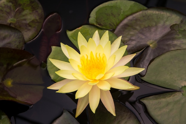 Closeup Lotus Flower Photo Premium Download