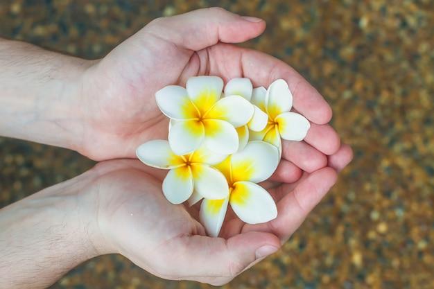Closeup of male hands holding plumeria tropical flower Premium Photo