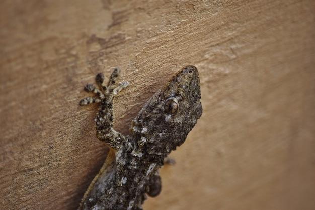 Primo piano di un geco moresco che striscia sui muri sotto le luci a malta Foto Gratuite