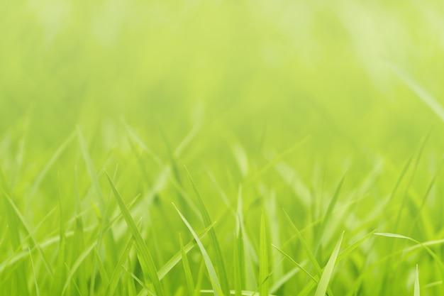 Closeup nature of green grass in garden under sunlight, natural green plant background. Premium Photo