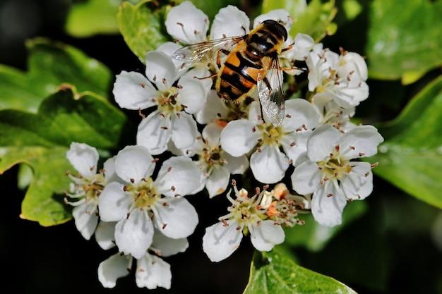 オランダのrijssenの町の近くのフィールドで白い花の上に座っている蜂のクローズアップ 無料写真