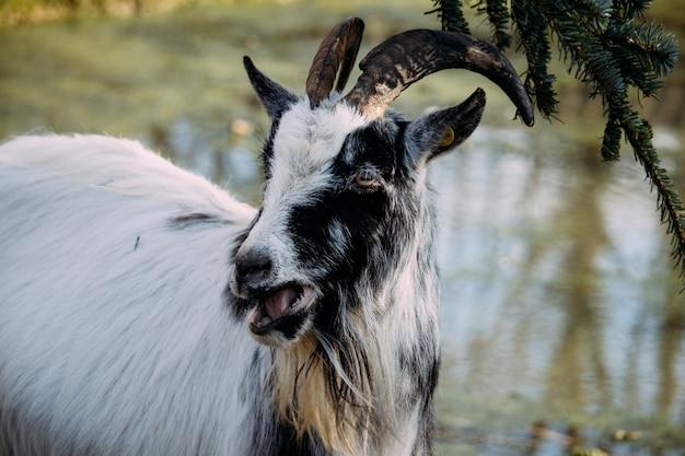Крупный план черно-белой козы, жующей еловые листья у пруда Бесплатные Фотографии