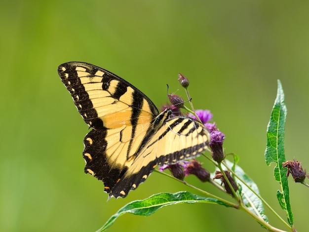 ぼやけた花の上の黒と黄色の蝶のクローズアップ 無料写真