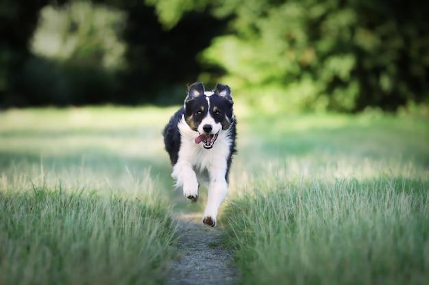 Крупным планом собака бордер колли работает в поле Бесплатные Фотографии