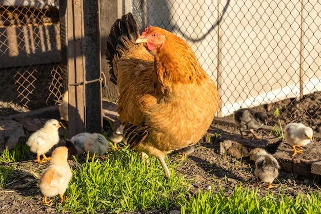 Крупным планом мать цыпленок со своими цыплятами в траве Premium Фотографии