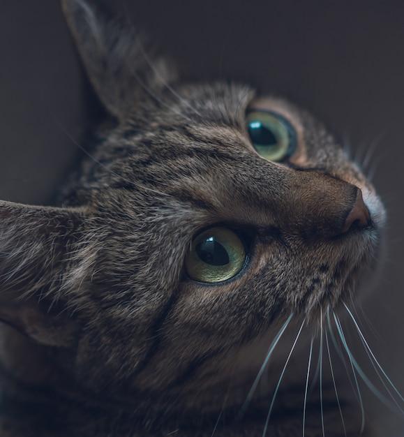 Макрофотография милый внутренний серый кот, глядя вверх с красивыми большими глазами Бесплатные Фотографии
