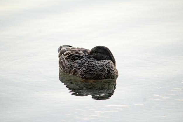 Крупным планом утка, купание в воде Бесплатные Фотографии