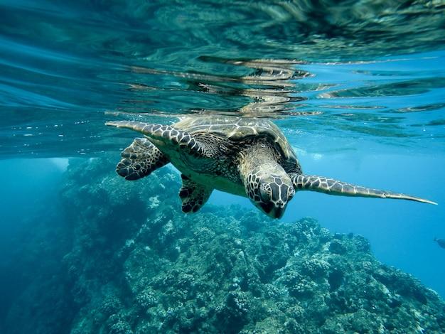 조명 아래에서 수중 수영 녹색 바다 거북의 근접 촬영 무료 사진