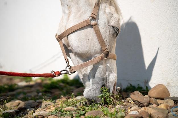白い壁の横に手綱を放牧している馬のクローズアップ 無料写真