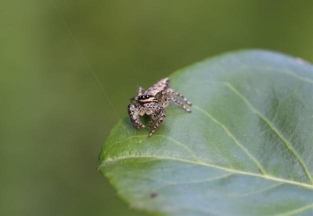 日光の下で葉の上のmarpissamuscosaのクローズアップ 無料写真