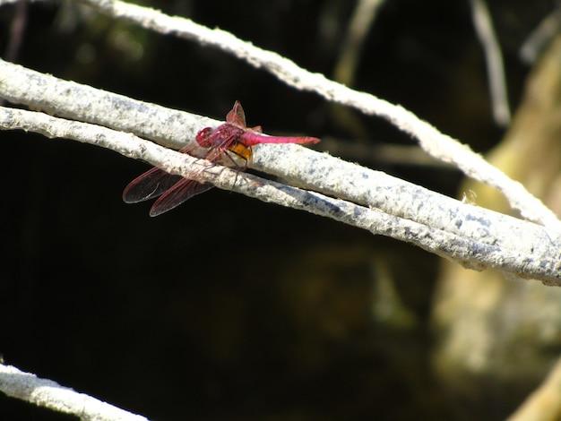 日光の下で木の枝に緋色のトンボのクローズアップ 無料写真