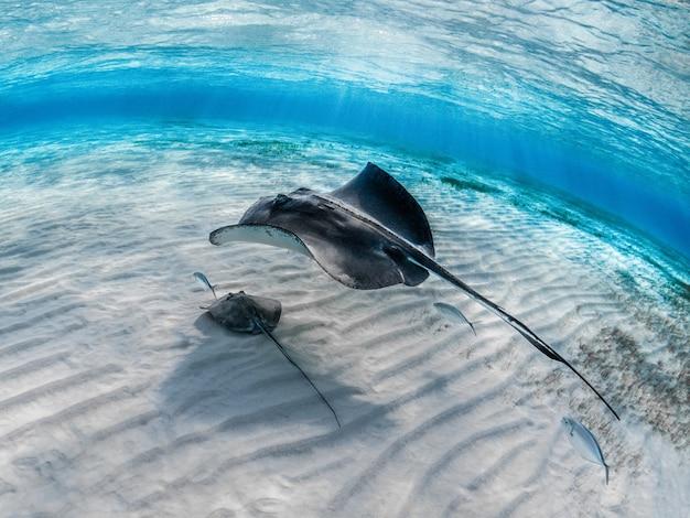 Крупный план ската с детенышем, плавающим под водой с другими рыбами Бесплатные Фотографии