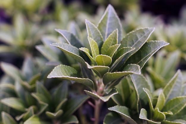 日光の下でフィールドの茶植物のクローズアップ 無料写真