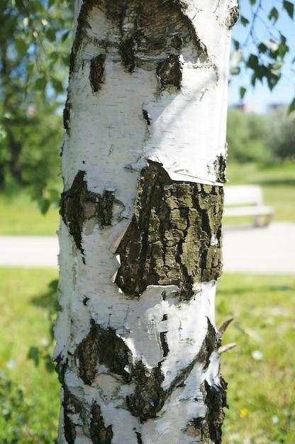 Крупным планом ствол дерева с белой корой Бесплатные Фотографии