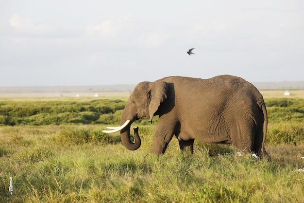アフリカ、ケニア、アンボセリ国立公園のサバンナを歩く象のクローズアップ 無料写真