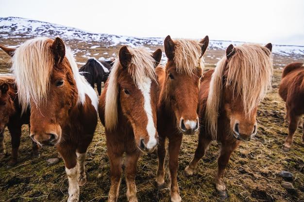 アイスランドの曇り空の下で雪と草に覆われたフィールドでアイスランドの馬のクローズアップ 無料写真