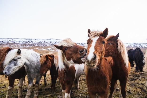 雪とアイスランドの草で覆われたフィールドにアイスランドの馬のクローズアップ 無料写真