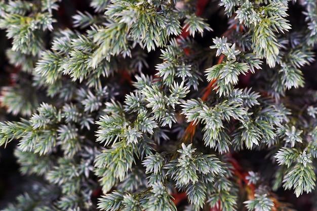 Juniperusのクローズアップは日光の下で葉 無料写真
