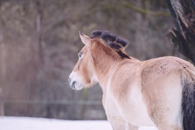 Крупный план дикой лошади пржевальского Бесплатные Фотографии