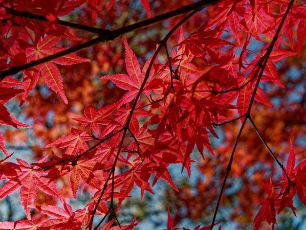 赤い皇帝カエデの木のクローズアップ 無料写真