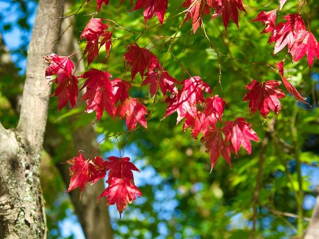 Крупным планом красные листья на ветвях деревьев с деревьями Бесплатные Фотографии