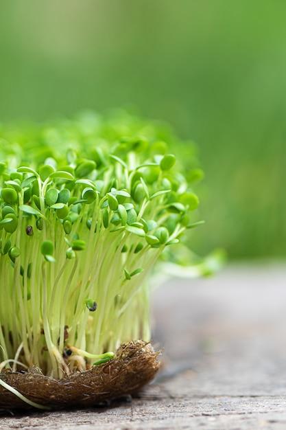 Крупный план проросшей рукколы растет на влажной льняной циновке. Бесплатные Фотографии