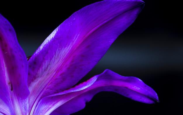 ユリスターゲイザーの花びらの下側のクローズアップ 無料写真