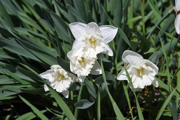 Primo piano di un fiore di narciso paperwhite circondato dal verde Foto Gratuite