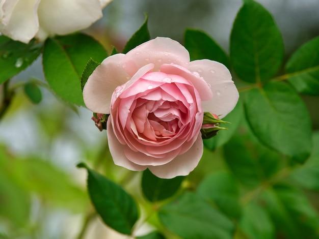 Primo piano di un giardino rosa rosa circondato dal verde con uno sfondo sfocato Foto Gratuite