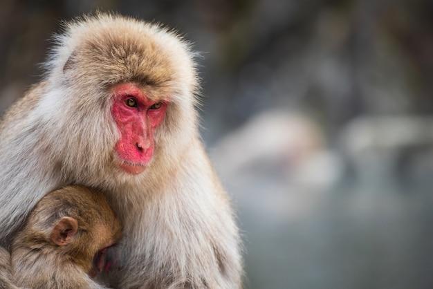 日本の雪猿ニホンザルの母と赤ちゃんの地獄谷公園、長野県山ノ内のポートレート、クローズアップ。冬のシーズン中に野生動物の家族のグループ。 Premium写真