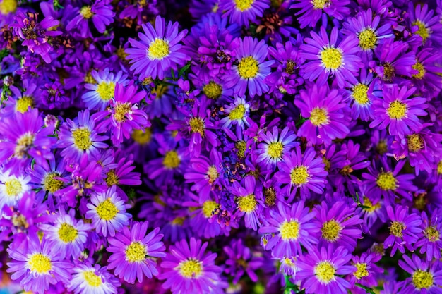Closeup of purple daisy textured background Free Photo
