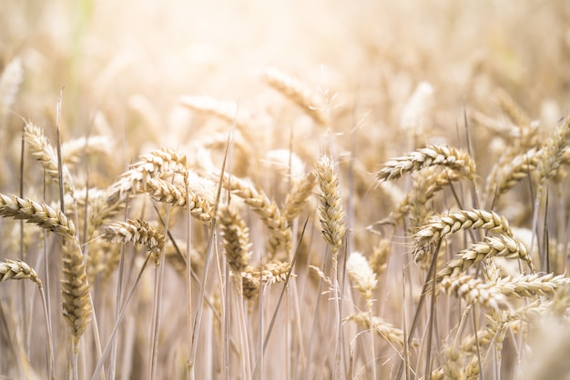 Closeup selective focus shot of a beautiful wheat field on a sunny day Free Photo