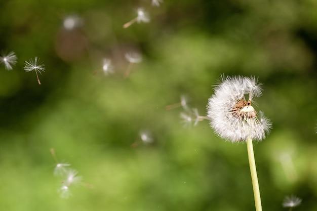 かわいいタンポポの顕花植物のクローズアップセレクティブフォーカスショット 無料写真