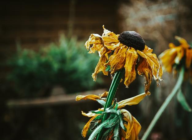 枯れたヒマワリのクローズアップセレクティブフォーカスショット 無料写真