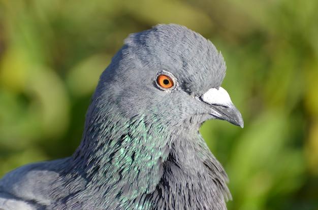 Крупным планом вид селективного фокуса горного голубя с оранжевыми глазами Бесплатные Фотографии